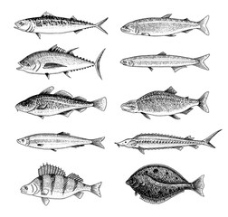 River fish. Perch or bass, Seafood for the menu. Scomber or mackerel, beluga and sturgeon, lake. Sea creatures. Freshwater aquarium. Engraved hand drawn in old vintage sketch. Vector illustration.