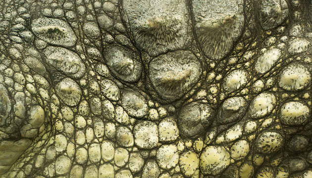 crocodile skin texture close up