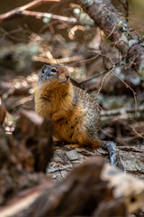 Columbia Ground Squirrel in the Colville National Forest