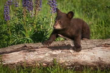Wall Mural - Black Bear Cub (Ursus americanus) Climbs Over Log