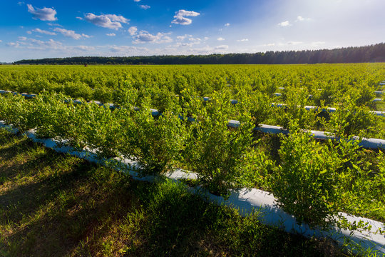 Field of blueberries, bushes with future berries against the blue sky. Farm with berries