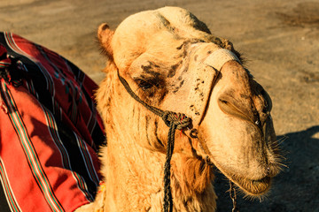 Close up of a camel on the road at the Dead Sea.