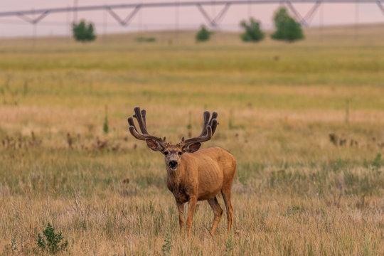 Mule deer Buck in Velvet