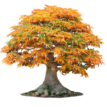 Yellow maple tree acer palmatum tree of trident maple in autumn shishigashira maple isolated white