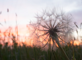 Close Up of a Dried Dandelion Blossom with an orange and lavender sunset in the background.