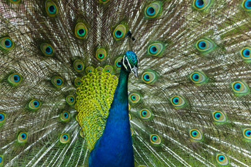 pavo real con sus plumas desplegadas en etapa de celo