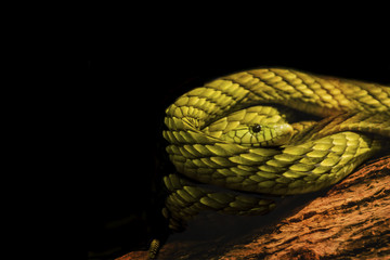 Coiled Green Mamba Isolated on Black