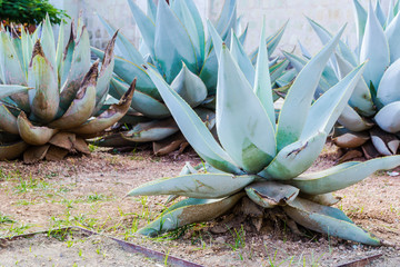 Green maguey traditional nativr mexican plants