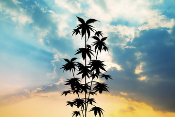 plant of cannabis at sunset