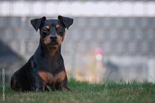 Hund Zwergpinscher Liegt Im Gras Im Garten Mit Zaun Im Hintergrund
