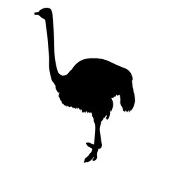 African ostrich standing of black silhouette on white background. Vector illustration.