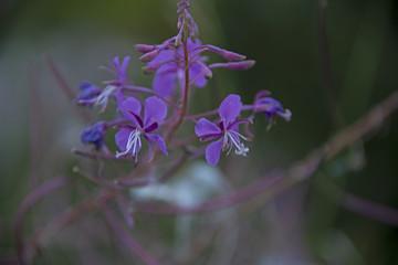 the natural background - Ivan tea blossoms