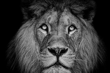 Detail portrait of a Beautiful lion, in the dark