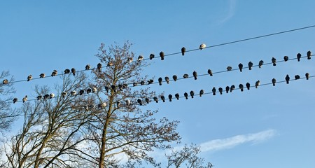 A flock of pigeons sitting on several wires
