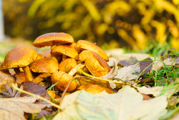 Wild growing orange yellow mushrooms on ground