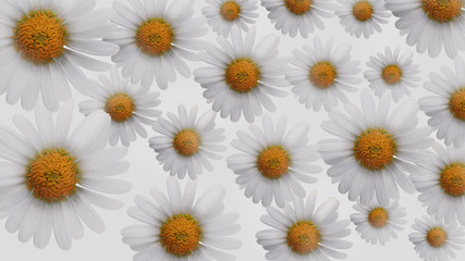 Abstraction. Chamomile flowers on white background. 3D rendering.