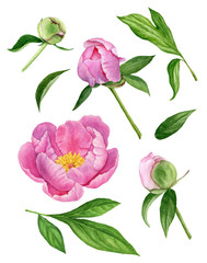 Watercolor illustration of flowers, buds and leaves of the tree peony. Floral elements set.
