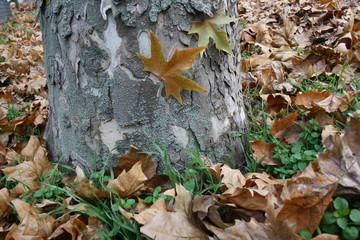 Plate of sycamore on the crust of the plane tree