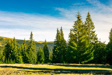 spruce forest on a meadow at sunrise.  wonderful scenery in mountains