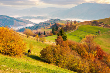 beautiful mountainous countryside in morning fog. beautiful vivid color of autumn at sunrise