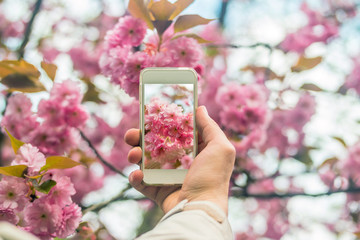 Hand holding smartphone taking photo of cherry blossom.