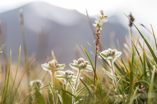 alpine meadow with edelweiss against gray mountain silhouette in a low evening sun