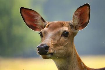 Face Roe deer doe
