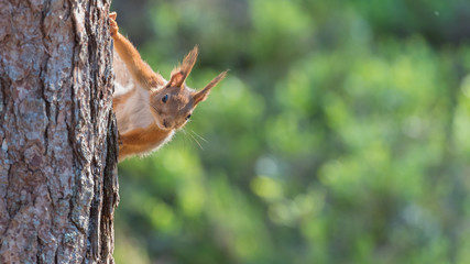 Red squirrel looking over from a tree