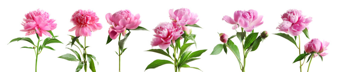 Foto op Canvas Bloemen Set of beautiful peony flowers on white background