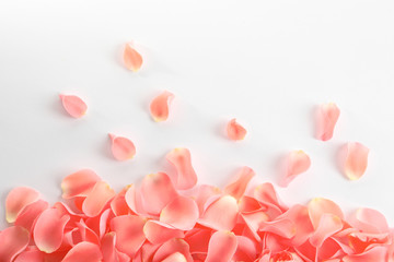 Beautiful rose petals on white background