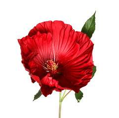 Beautiful red hibiscus flower on white background