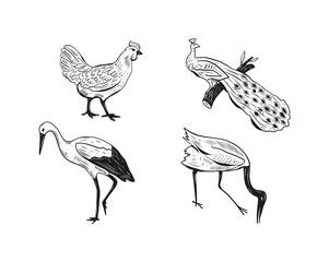 Chicken heron peacock hand drawn animals