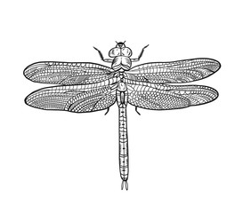 Top view dragonfly with transparent wings, sketch vector illustration.