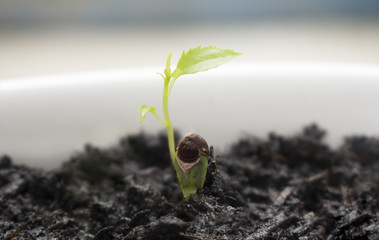 Close up of young Apple tree seedling 1 week after sprouting from the soil.
