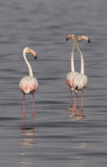 Greater Flamingos are local migrants in Pakistan. The breed along mangroves and gain pink color with the shrimps they eat