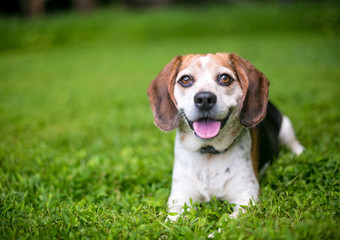 A happy Beagle dog relaxing in the grass