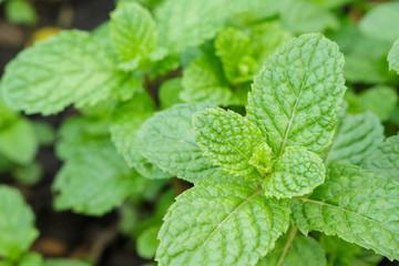 pappermint mint leaf fresh in garden