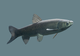 Fish carp on an isolated background