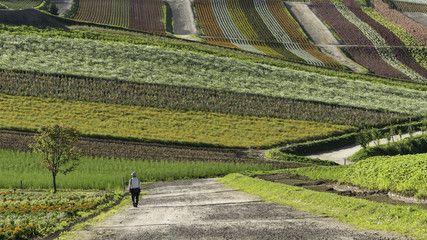 A man walking on a road watching for colorful flower garden of Shikisai-no-oka hill in Biei