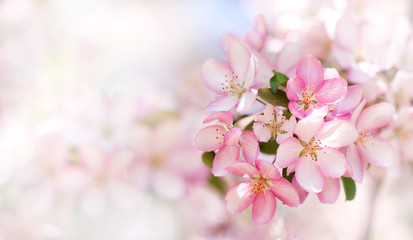 Beautiful cherry blossom springtime sunny day garden landscape. Blossoming pink petals fruit tree branch, tender blurred bokeh background. Shallow depth of field, copy space.