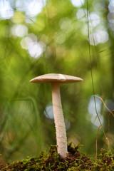 Amanita fulva mushroom