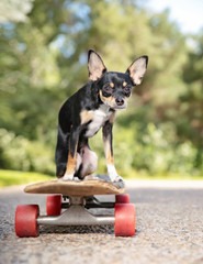 cute little chihuahua riding on a skateboard on a path in a park