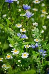 Chicory and chamomile on a meadow. Grass and wild flowers against the sky.