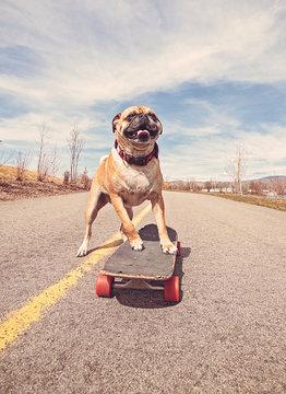 cute pug riding a skateboard on a path in a park