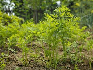 parsley leaves in a vegetable garden