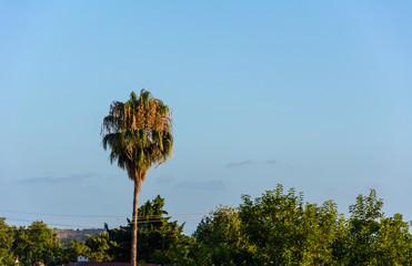 View of the tall palm tree in the rays of the setting sun against the background of trees and the evening sky