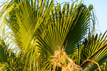 green palm trees close-up against the evening sky in the rays of the setting sun