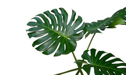 Monstera-Pflanzenblätter, die tropische immergrüne Rebe isoliert auf weißem Hintergrund, inklusive Beschneidungspfad