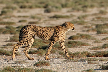 An alert cheetah (Acinonyx jubatus) out on the hunt, Etosha National Park, Namibia.