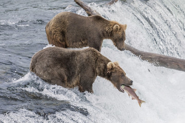 Brown Bear Catching Salmon at Brooks Falls in Alaska